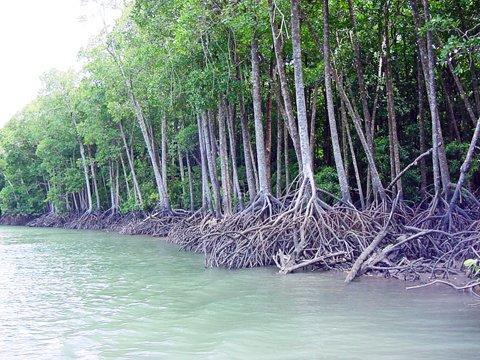 mangroveforesthinchinbrookis