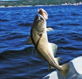 7. Torsk, fast fisk