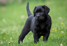 Photo of About the Labrador Retriever