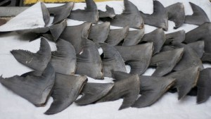 Sharks fins that were removed via shark finning are laid across the floor of a boat. Photo Credit: Nicholas Wang