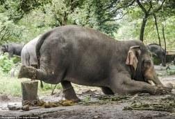 Elephant at Guruvayur Temple. Courtesy of Daily Mail.