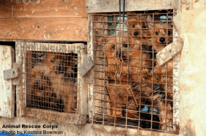Dogs in a crowded puppy mill. Image credit to Kristina Bowman.
