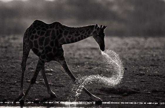 Girafa bebendo água