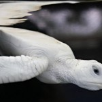 O drama da sobrevivência das tartarugas marinhas brancas