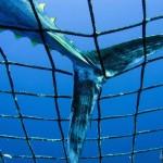 Atum ameaçado de extinção devido à pesca predatória, mostra estudo