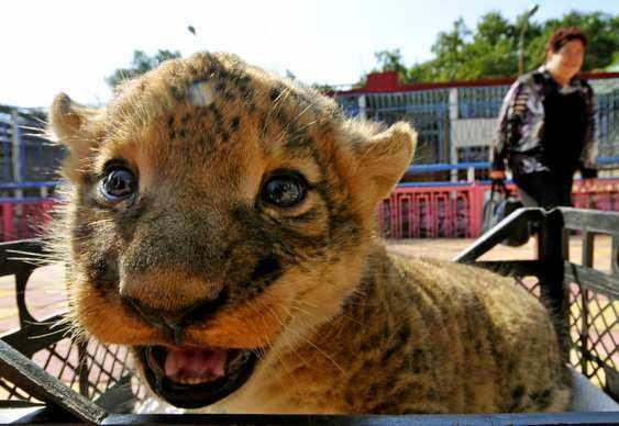 Foto de leãozinho sorrindo