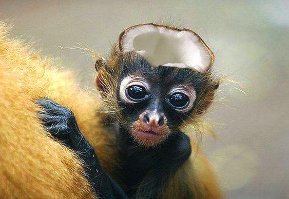 Cabeça de macaco