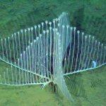 Predador marinho: uma esponja carnívora com a forma de harpa