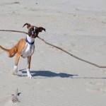 Cachorro de duas patas brinca em seu primeiro passeio à praia
