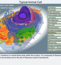 animal cell model diagram project parts structure labeled coloring and plant cell organelles cake a typical animal cell animal cell model diagram project  [ 1024 x 776 Pixel ]