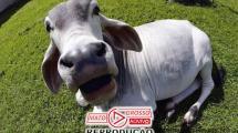 """Doença da """"Vaca louca"""" detectado em Mato Grosso é fato isolado segundo Ministério da Agricultura e Pecuária 151"""