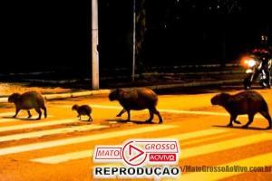 Capivaras de Cuiabá são filmadas atravessando avenida na faixa de pedestres 66