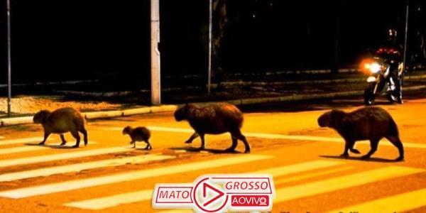 Capivaras de Cuiabá são filmadas atravessando avenida na faixa de pedestres 30