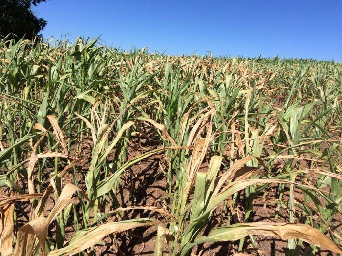 Perda de milho em Mato Grosso faz produtores se preocuparem com contratos antecipados. Imea reduz projeção do grão