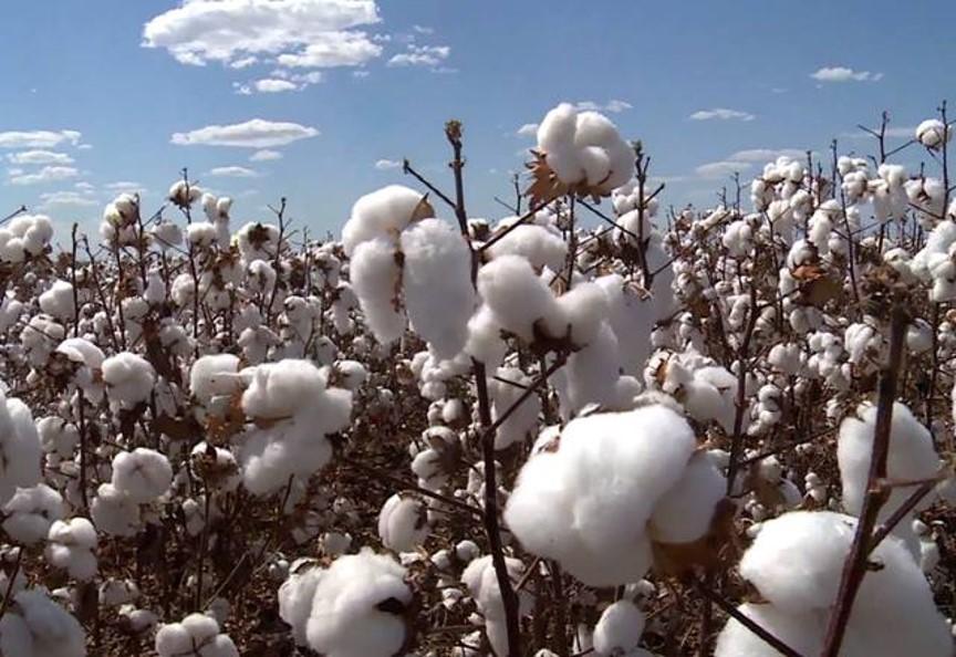 Mato Grosso exportou 68,29% do algodão do país no acumulado deste ano