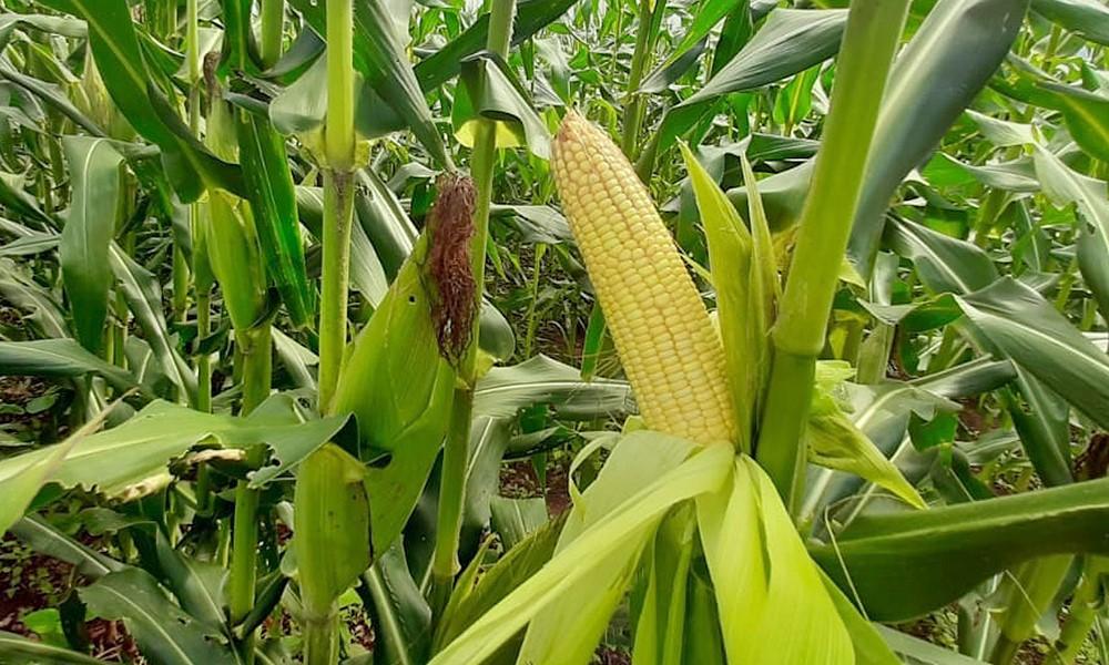 Produtores de milho de Mato Grosso devem ter redução na área de plantio e menor produtividade