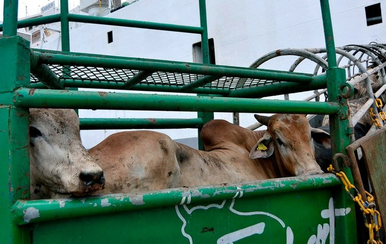 Entidades de MT planejam missão para Bolívia para combater comércio ilegal de gado