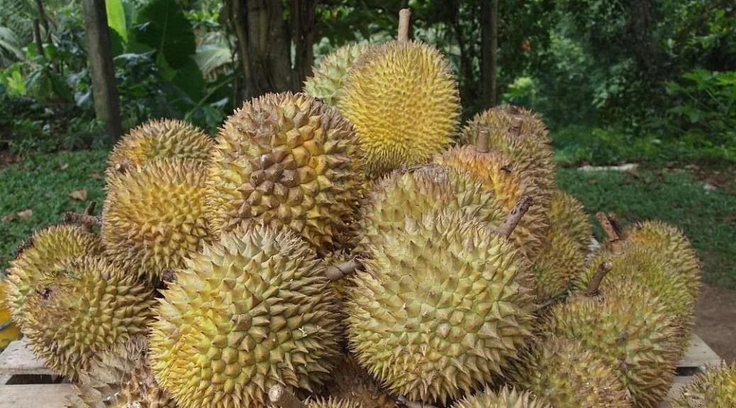 musim buah durian