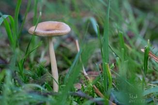 The Tawny Grisette mushroom