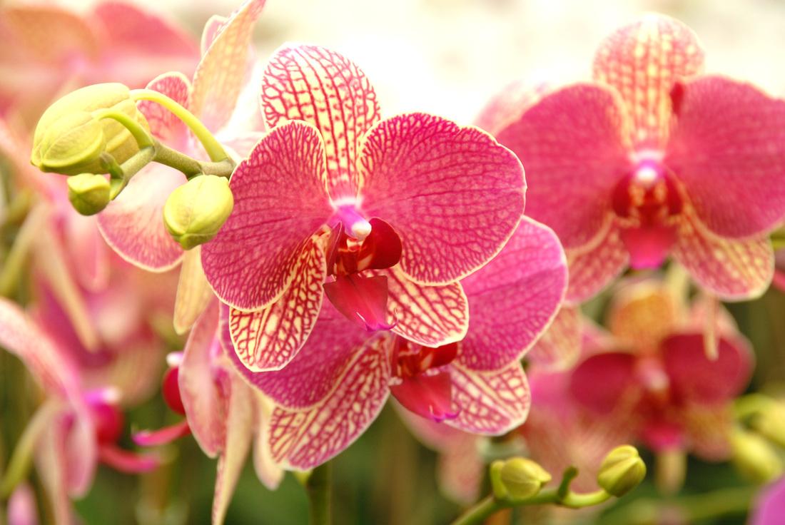 Resultado de imagem para Phalaenopsis