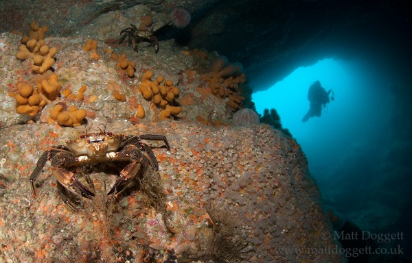 Velvet swimming crab, Necora puber, Sula Sgeir, Scotland