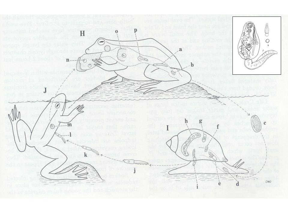 Matthew Bolek, Amphibian Parasitology, Nematomorpha