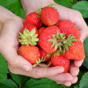 berry-strawberry-hands-leaves-65271