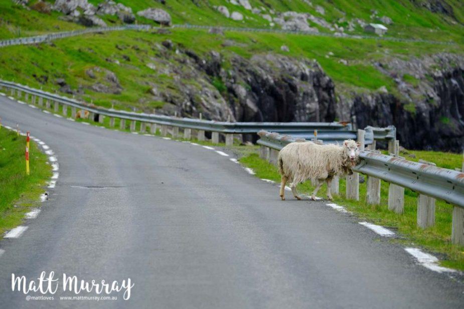 Sheep on the road, Faroe Islands