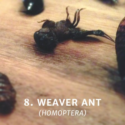 Eating a Weaver Ant