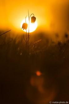 schachbrettblumen-im-gegenlicht