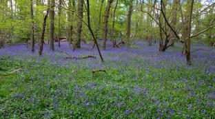 Maulden King's Wood bluebells