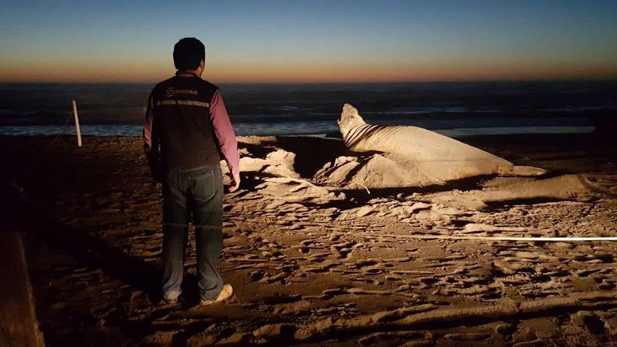 Avistan elefante marino en playas de Llico