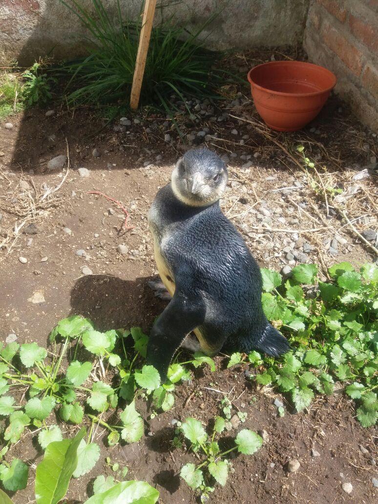Sernapesca del Maule relocaliza a pingüino magallánico hallado en caleta Curanipe