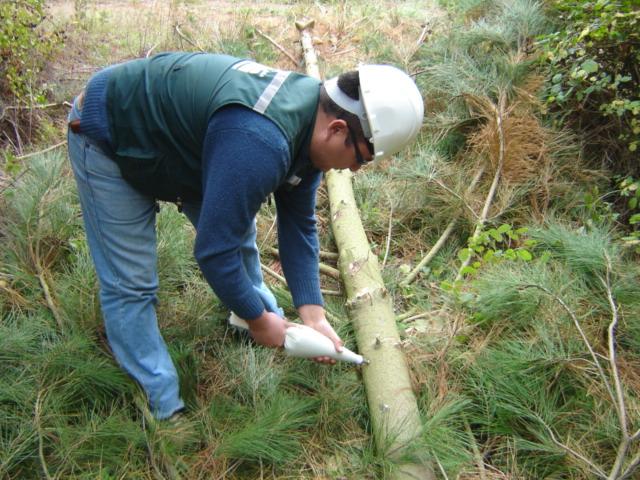 SAG libera en el Maule controlador biológico de plaga forestal
