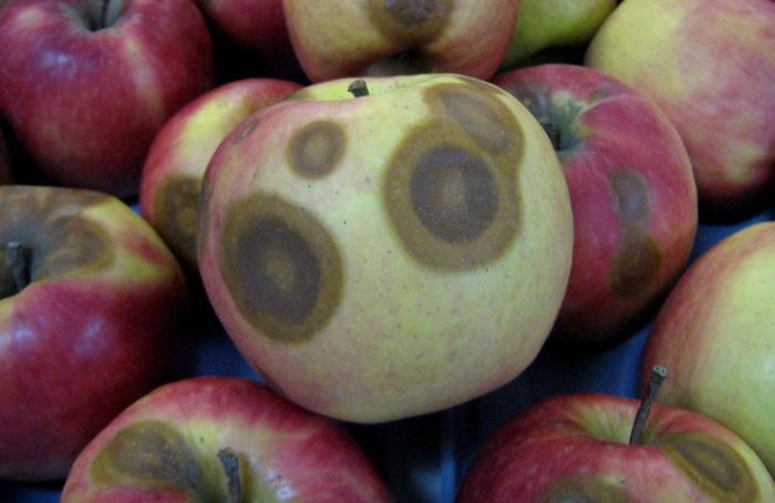 """Crean mecanismo para detectar tempranamente hongo que produce el """"Ojo de Buey"""" en la manzana"""