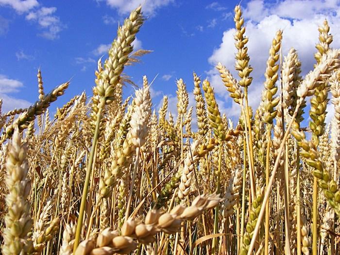 Desarrollan método exprés para identificar plantas resistentes a sequía