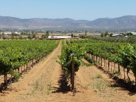 Baja Vineyards