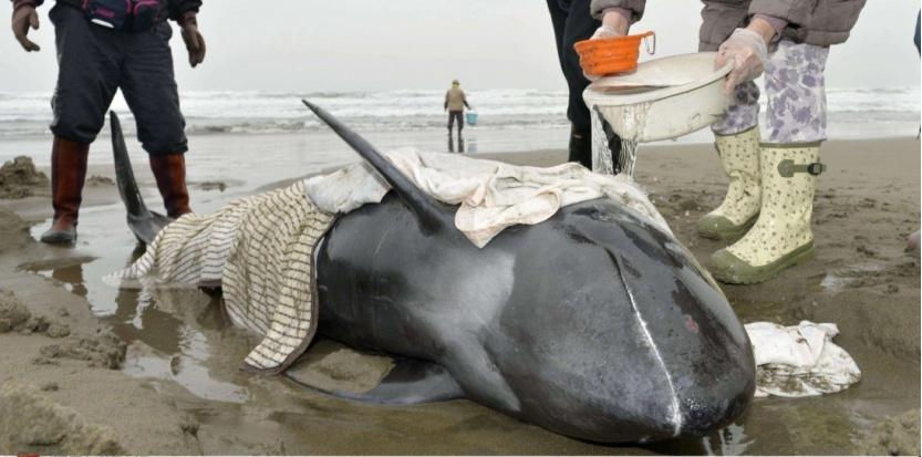 Uno dei 150 delfini di Elettra spiaggati nella prefettura di Hokota, Giappone.-