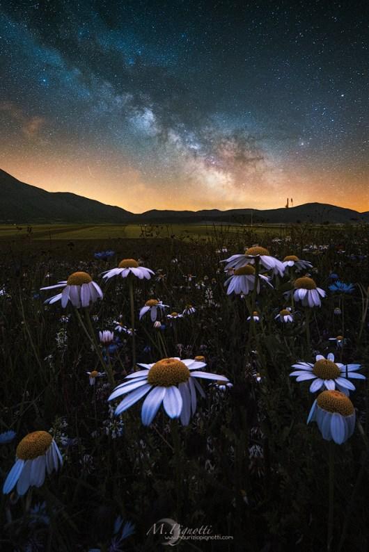 © Night Daisy