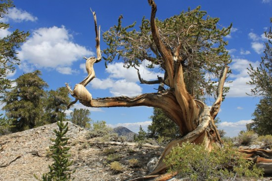 Bristlecone-Pine-Forest-Aug-2012-42