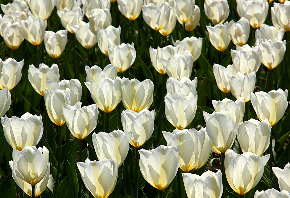 white tulips in display in srinagar