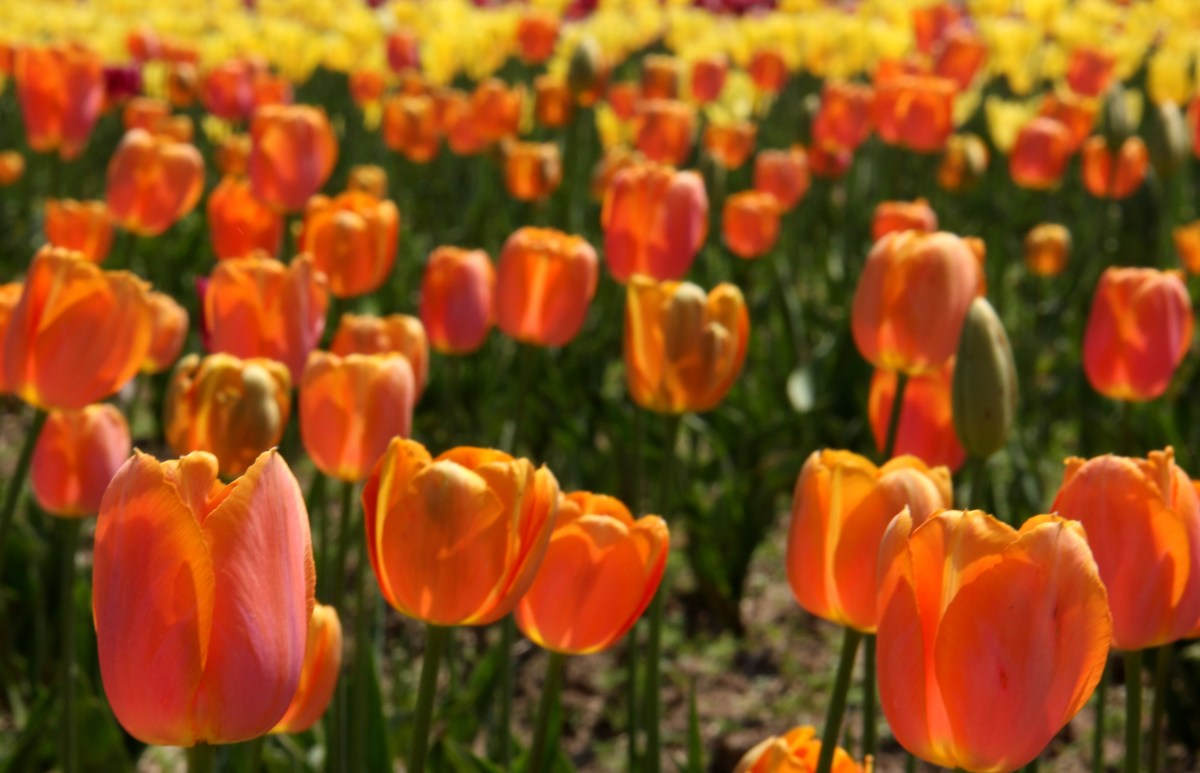 srinagar tulip festival was started in 2007