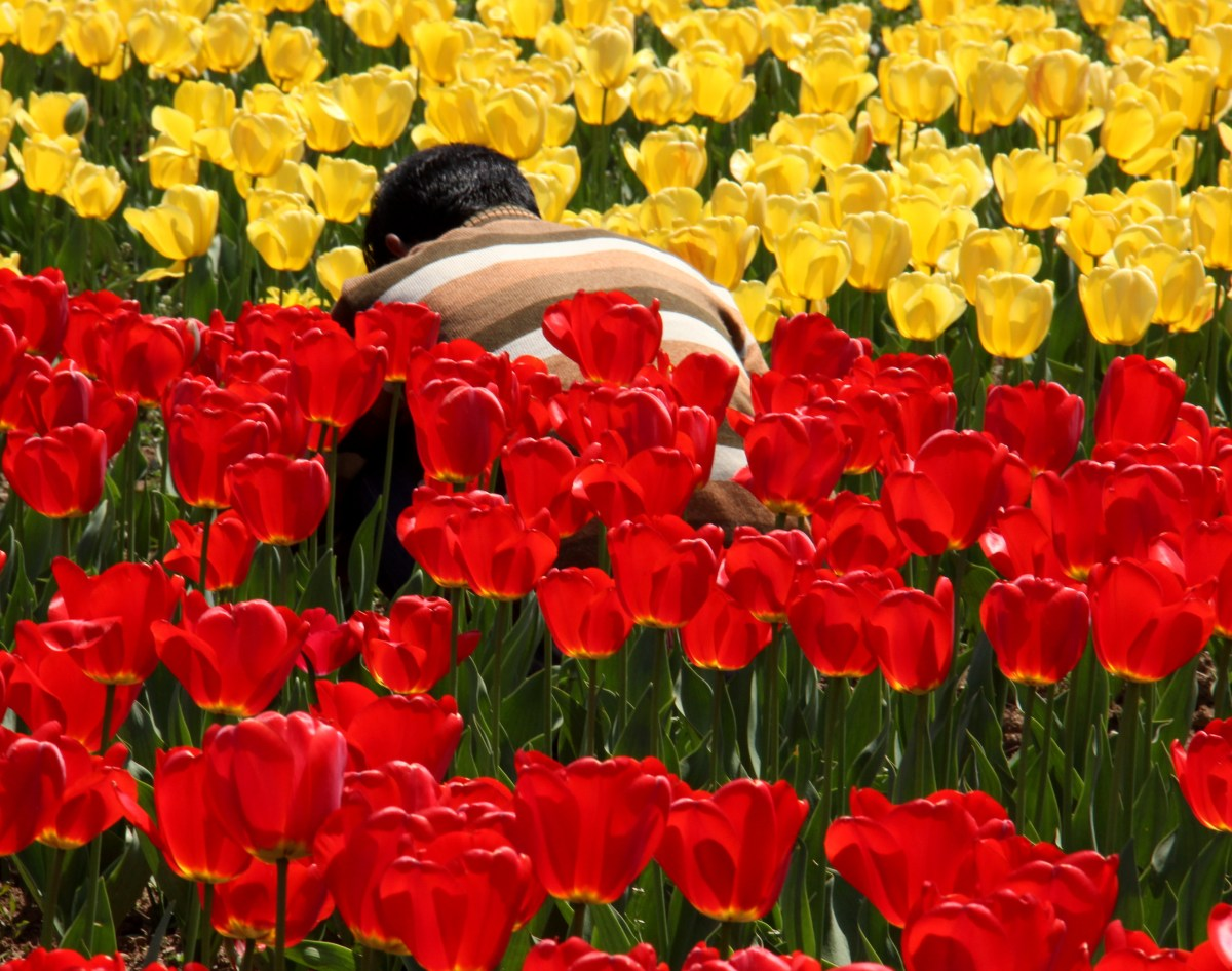 gardener tending beds in srinagar tulip garden