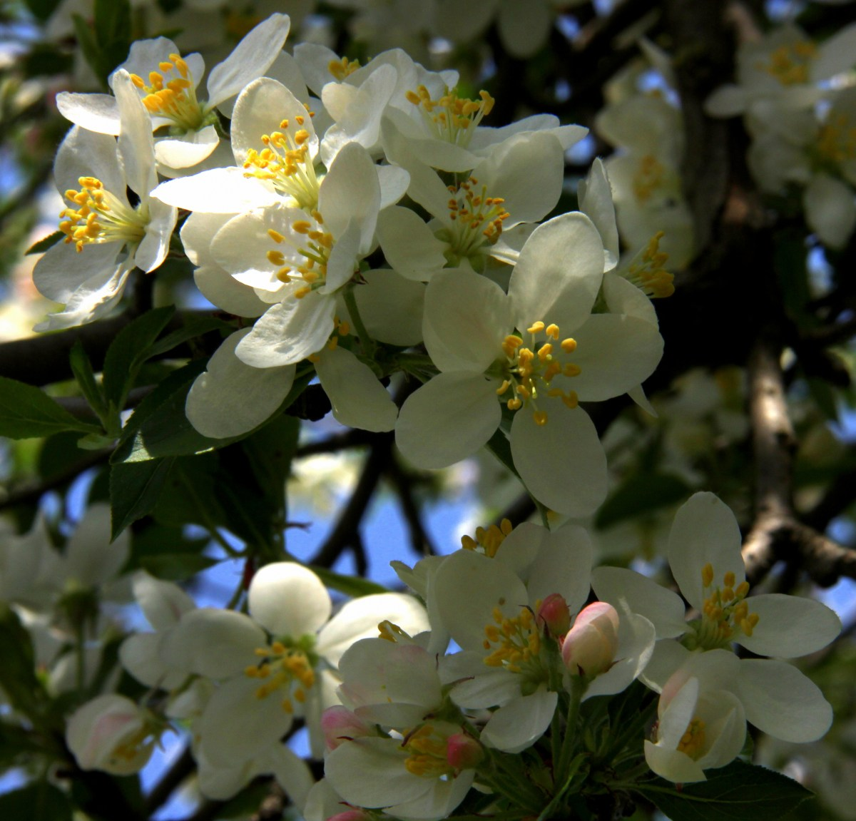 apple blossoms bloom in april in kashmir