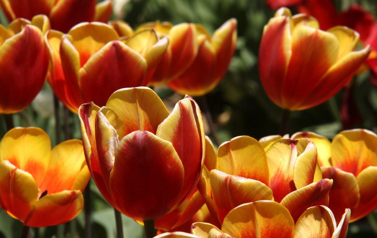 commonly found tulips at srinagar tulip garden