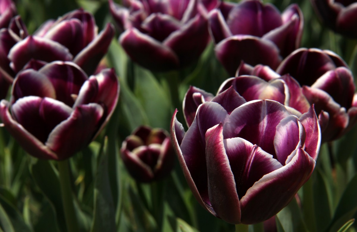 rare black tulips at srinagar tulip festival