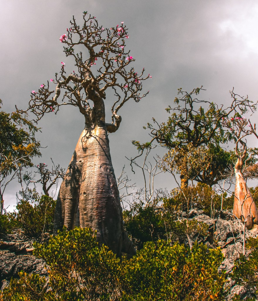 Socotra island has endemic flora