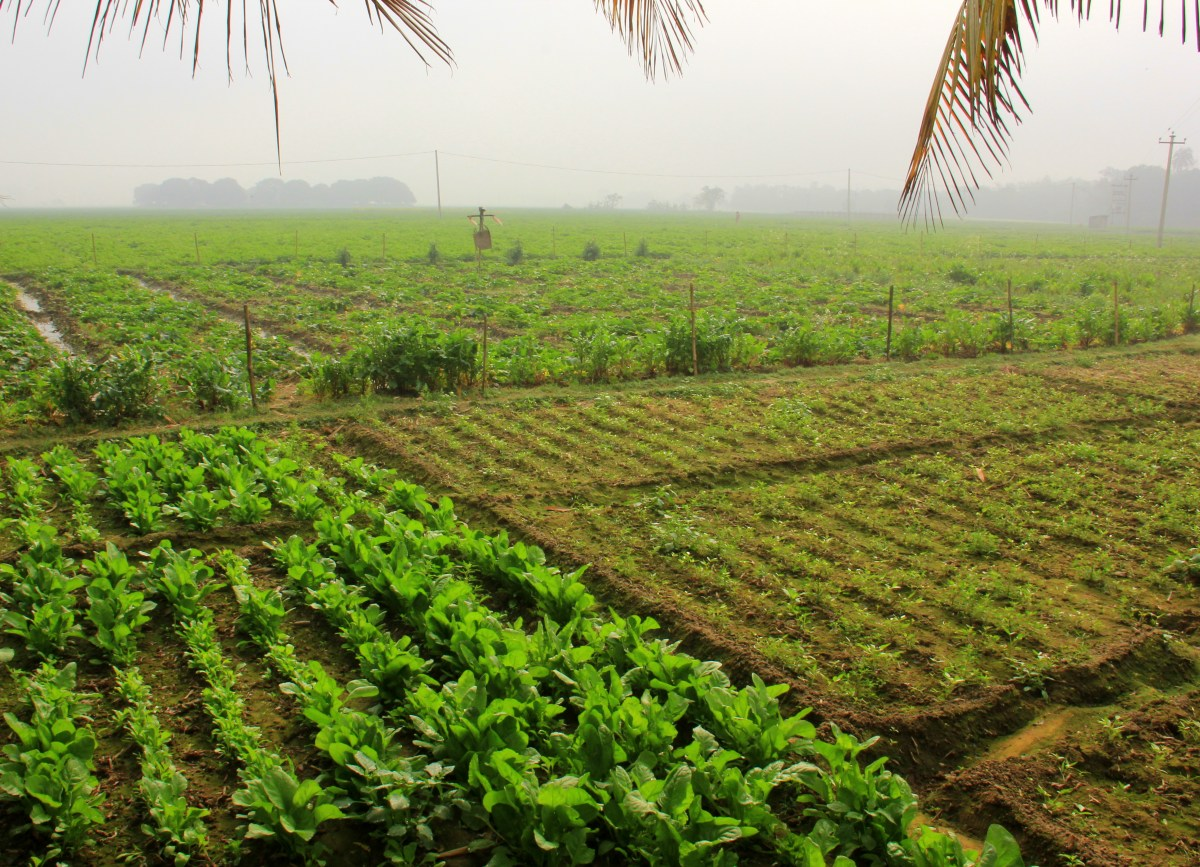 The agricultural fields around Amadpur