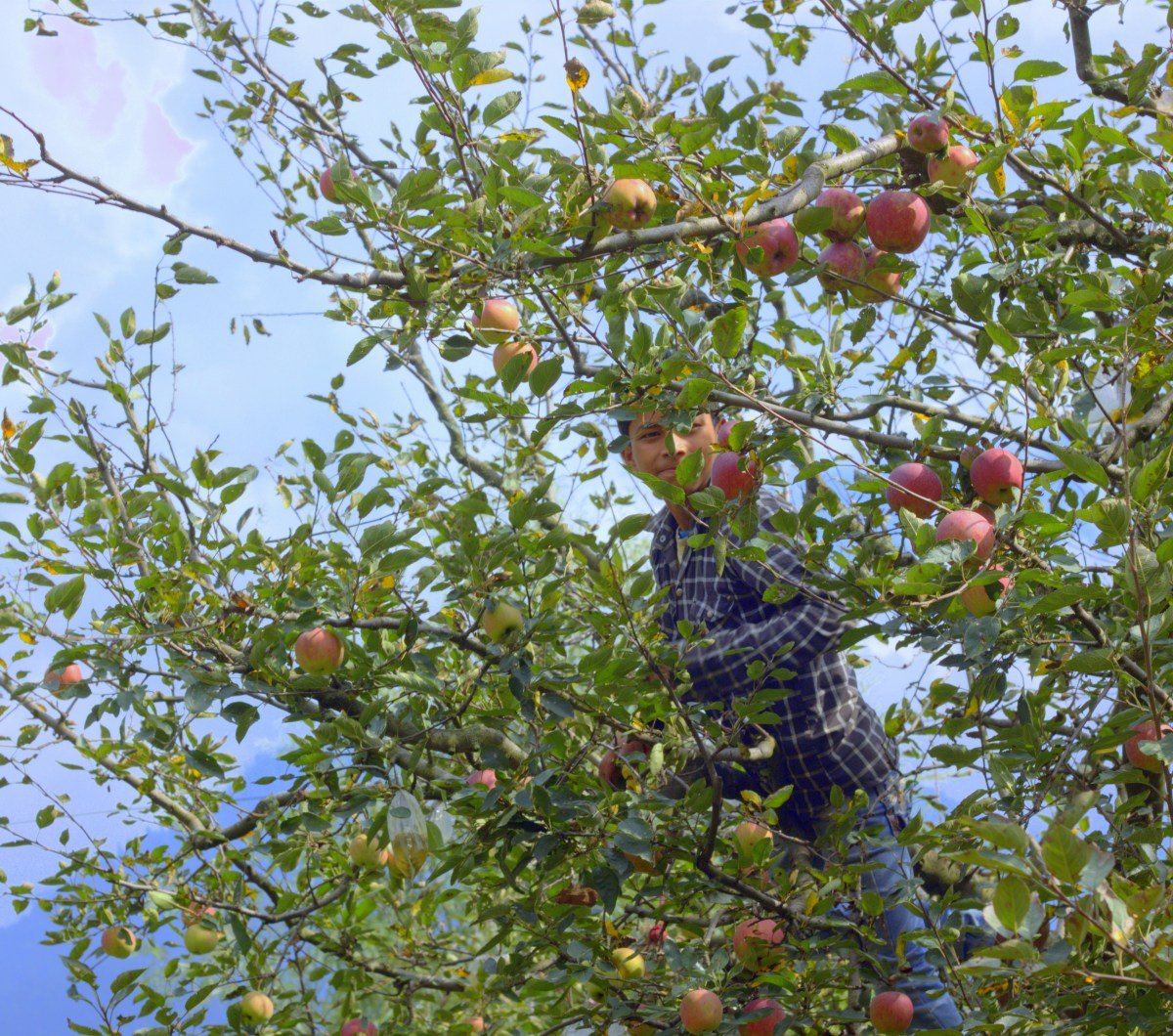 Try fruit picking as an offbeat Manali experience