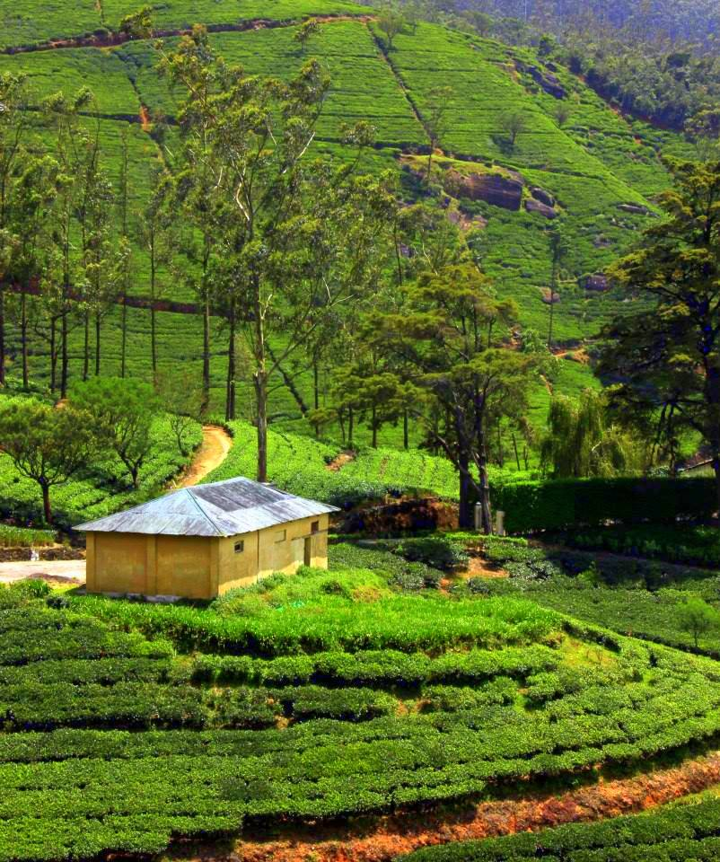 hill country of sri lanka is famous for tea